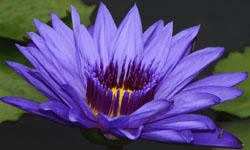 Sacred Blue lily