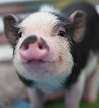 pigs dont lie